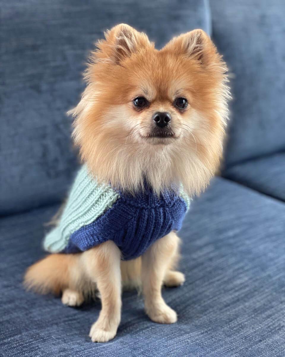 Este suéter es grueso y súper suavecito al tacto. En un estilo exclusivo de punto inglés hará que los amigos del vecindario le den la bienvenida a tu peludo con un baile de colas sin igual! Una línea sofisticada diseñada para tu perro pensando en ti! Nuestras chompas se tejen cuidadosamente para brindar comodidad, resistencia, durabilidad y mucho estilo. <ul> <li> <div>Material ultra suave</div></li> <li> <div>Cuello Alto</div></li> <li> <div>Orificio para la correa</div></li> <li> <div>Tejido artesanal</div></li> </ul> Massimo (@massimopomeranian) usa nuestra chompa para perro Calientito en talla XSmall. En esta misma página, más abajo, encontrarás la<strong>GUÍA DE MEDIDAS</strong>específica de este suéter para que elijas correctamente la talla de tu perro.